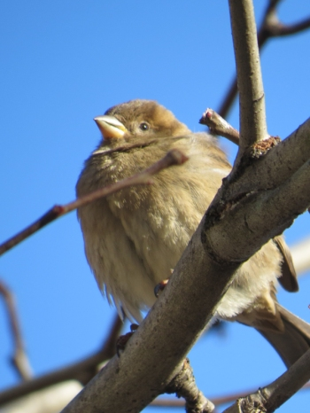 Cold puffed out sparrow in Central Park 1-9-15 photo by Jamie Koufman