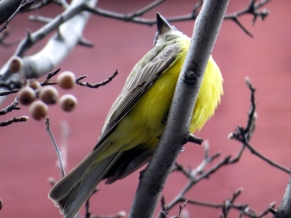 Couchs Kingbird photo bb by Jamie Koufman West Village 10014 1-3-15
