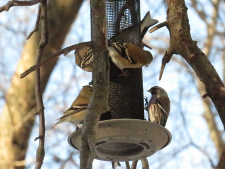 Golfinches and Common Redpoll Central Park 1-25-15 jamiesbirds