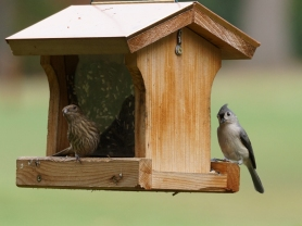 House Finch and Tufted Titmouse 10-3-14