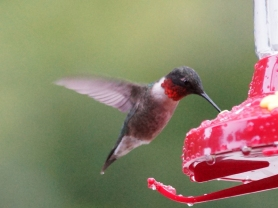 Ruby throat HB 1