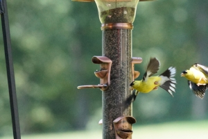SCRAM Goldfinches