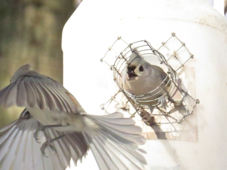 SCRAM Tufted titmouse turf Central Park ramble jamiesbirds 1-25-15
