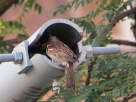 Sparrow Mom in street lamp post Bleecher St a
