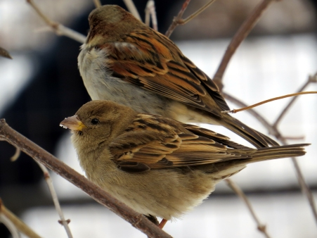 Sparrows in Central Park 1-9-15 photo by Jamie Koufman