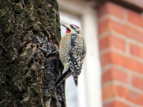 Yellow-bellied Sapsucker photo a by Jamie Koufman West Village 10014 1-3-15