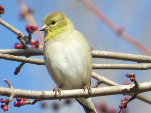 American Goldfinch BR NC Feb 2015 jamiesbirds