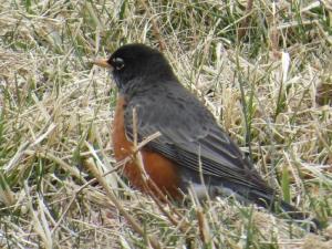 American Robin BR NC Feb 2015 jamiesbirds