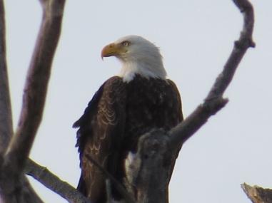 Bald Eagle CC Eagle Festival 2-7-15 jamiesbirds
