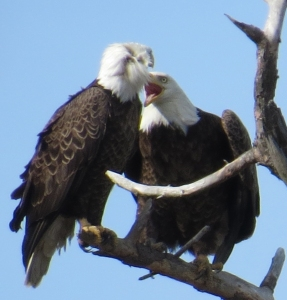 Bald Eagle Couple NOT now CC Eagle Festival 2-7-15 jamiesbirds