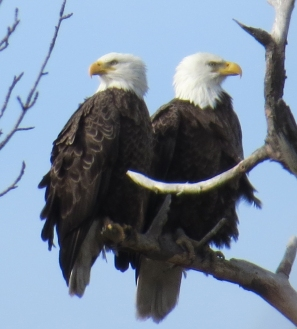 Bald Eagle Couple not talking  kkk  CC Eagle Festival 2-7-15 jamiesbirds