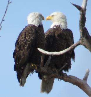 Bald Eagle Couple post coital pic CC Eagle Festival 2-7-15 jamiesbirds