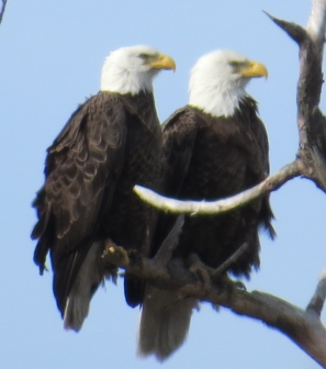Bald Eagle Couple same page CC Eagle Festival 2-7-15 jamiesbirds
