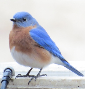 Bluebird bath time1 BR NC Feb 2015 jamiesbirds