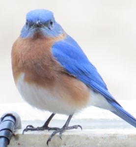 Bluebird bath time2 BR NC Feb 2015 jamiesbirds