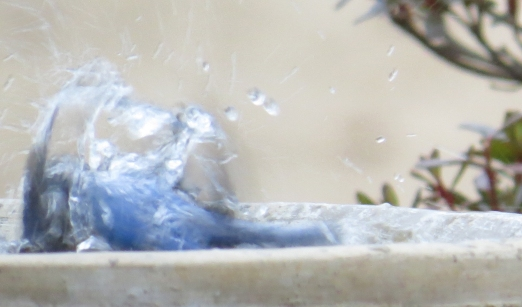 Bluebird bath time5 BR NC Feb 2015 jamiesbirds
