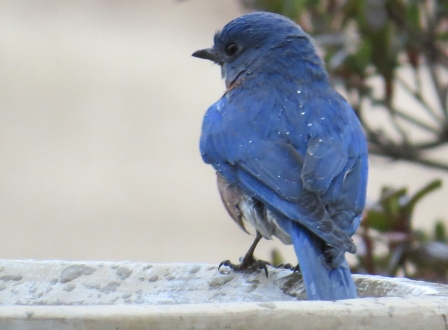 Bluebird bath time6 BR NC Feb 2015 jamiesbirds