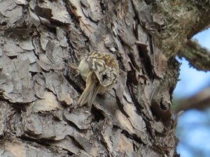 Brown Creeper BR NC Feb 2015 jamiesbirds