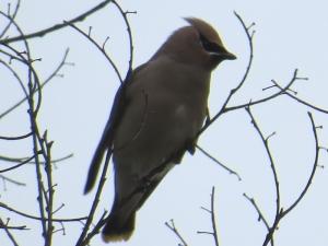 Cedar Waxwing BR NC Feb 2015 jamiesbirds