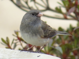 Dark-Eyed Junco BR NC Feb 2015 jamiesbirds