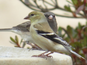 Goldfinch and JuncoBR NC Feb 2015 jamiesbirds
