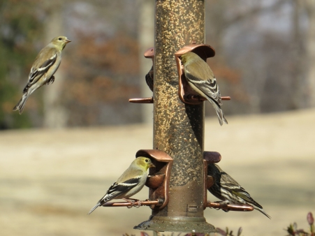 Mostly Goldfinches BR NC Feb 2015 jamiesbirds