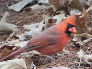 Northern Cardinal BR NC Feb 2015 jamiesbirds