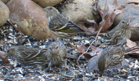 Pins Siskin party1 at BR NC Feb 2015 jamiesbirds