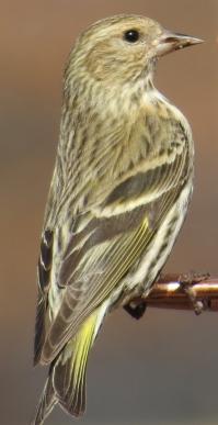 Pins Siskin1 BR NC Feb 2015 jamiesbirds