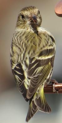 Pins Siskin2 BR NC Feb 2015 jamiesbirds