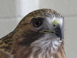 Red-tailed hawk Al CC Eagle Festival 2-7-15 jamiesbirds