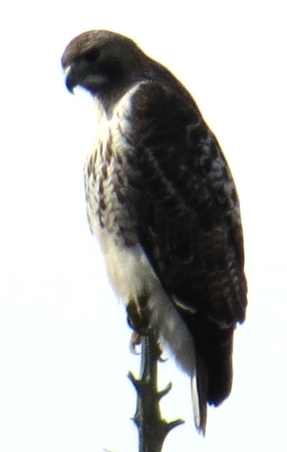 Red-tailed hawk Turkey Point CC Eagle Festival 2-7-15 jamiesbirds