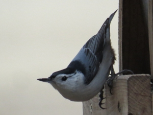 White-Breasted Nuthatch BR NC Feb 2015 jamiesbirds