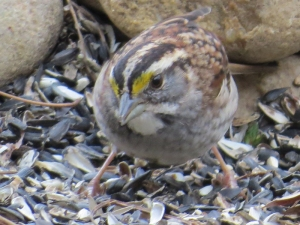 WhiteThroated Sparrow BR NC Feb 2015 jamiesbirds