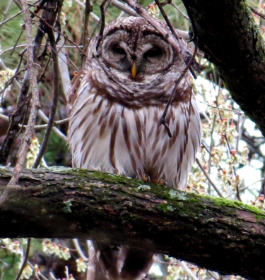 Barred Owl 3-22-15 Tanglewod Park AvanceNC jamiesbirds
