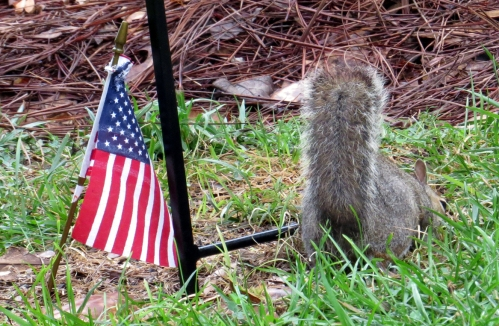 Squirrel under  feeder 100a Bermuda Run jamiesbirds
