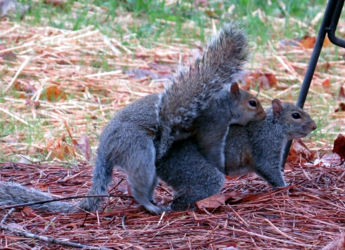 Squirrels mating 4 Bermuda Run jamiesbirds