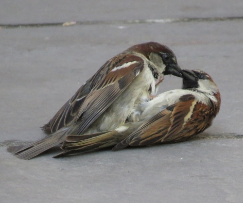 Fighting House sparrow g at Delacorte Theater Central Park 4-28-15 jamiesbirds