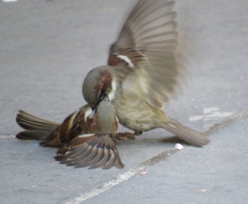 Fighting sparrows c at Delacorte Theater Central Park 4-28-15 jamiesbirds