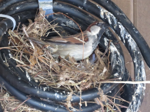 Nesting House sparrow at Delacorte Theater Central Park a 4-28-15 jamiesbirds