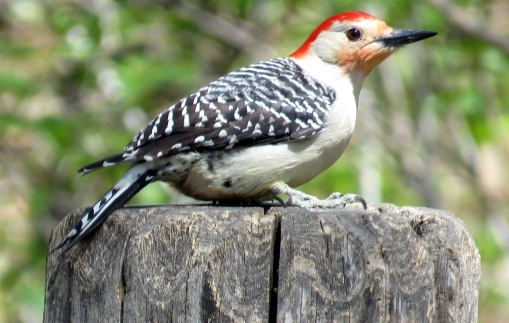 Red-bellied woodpecker k100 Ramble 4-30-15 jamiesbirds