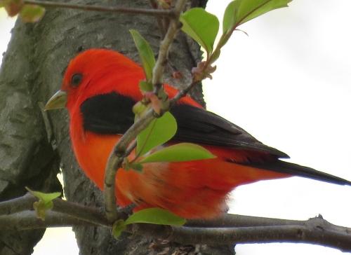 Scarlet tanager  bb Rabmle 4-3015 jamiesbirds