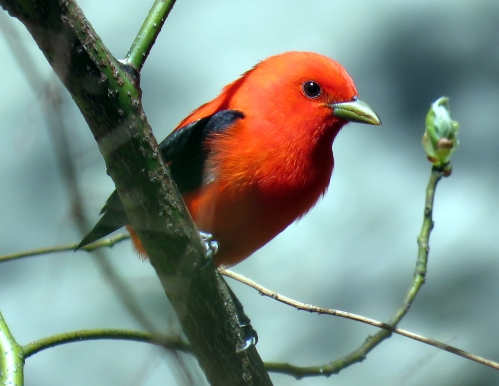 Scarlet tanager k100 Ramble 4-30-15 jamiesbirds