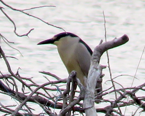 Black crowned nigh heron rookeryHeislerville Cape May May 2015 jamiesbirds