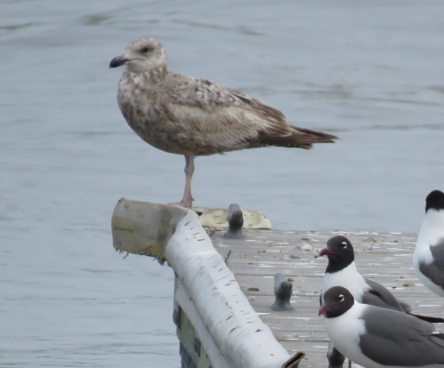 Huge immature Black backed gull Cape May May 2015 jamiesbirds