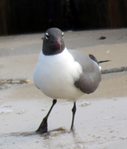 Laughing Gull aa Cape May May 2015 jamiesbirds
