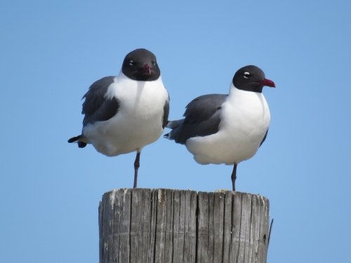 Laughing Gulls 90a Cape May May 2015 jamiesbirds