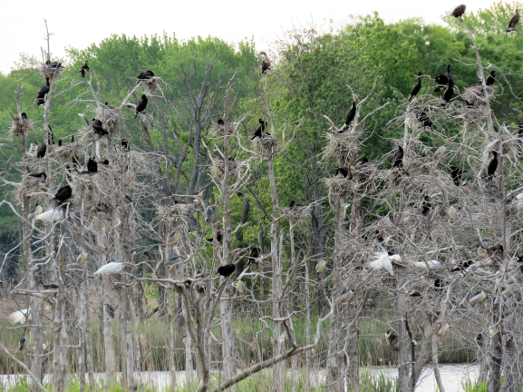 Mother lode rookery aa at Heislerville Cape May May 2015 jamiesbirds
