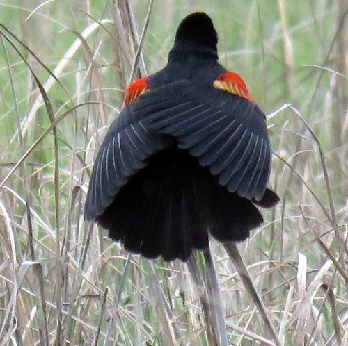 Red Winged Blackbird Cape 100a May May 2015 jamiesbirds
