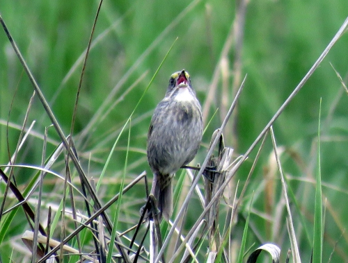 Seaside sparrow Cape May May 2015 jamiesbirds